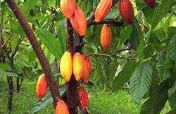 cacao-thumb